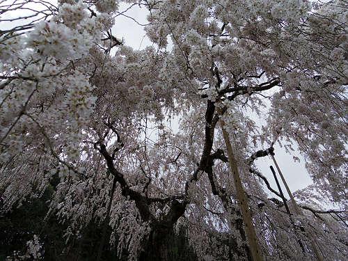 小糸しだれ桜の『大野寺』@宇陀市-10