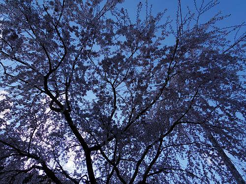 小糸しだれ桜の『大野寺』@宇陀市-11