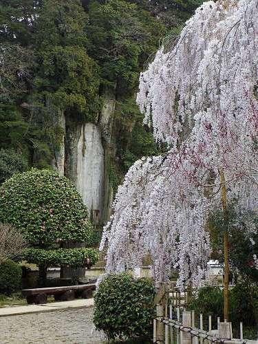 小糸しだれ桜の『大野寺』@宇陀市-14