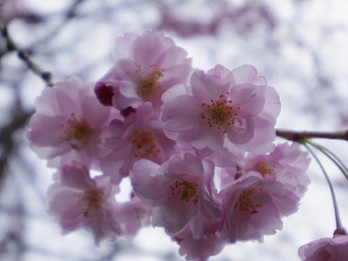 小糸しだれ桜の『大野寺』@宇陀市-15