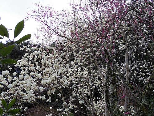 小糸しだれ桜の『大野寺』@宇陀市-16