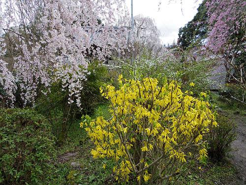 小糸しだれ桜の『大野寺』@宇陀市-17