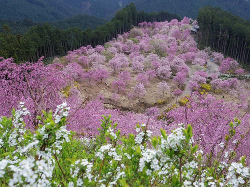 千本のしだれ桜が咲き誇る『天空の庭 高見の郷』@東吉野村