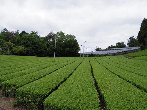 茶畑と映山紅@山添村-22
