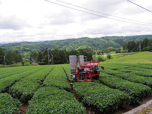茶畑と映山紅@山添村-23