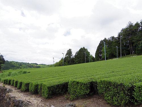 茶畑と映山紅@山添村-24
