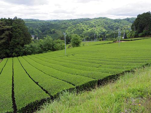 茶畑と映山紅@山添村-25