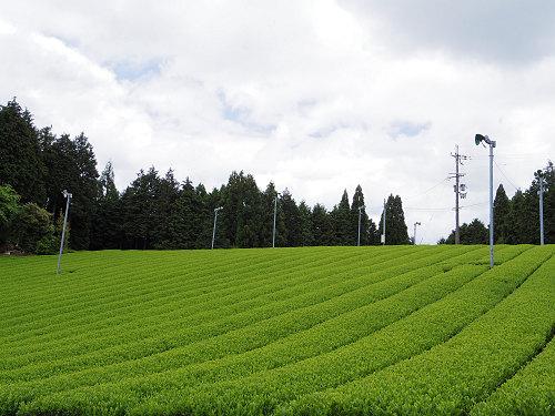 茶畑と映山紅@山添村-26