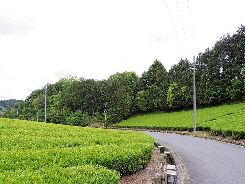 茶畑と映山紅@山添村-27