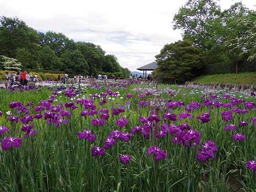 花しょうぶ@馬見丘陵公園-10