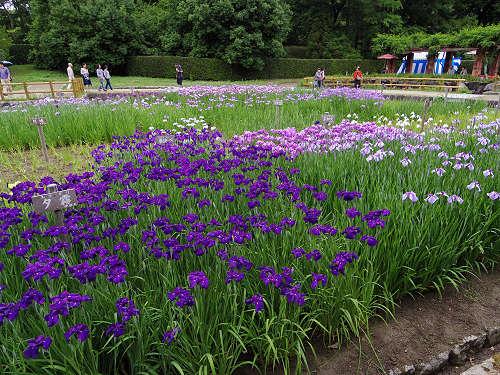 花しょうぶ@馬見丘陵公園-12
