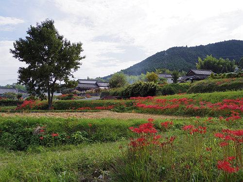 一言主神社と葛城古道のヒガンバナ-07