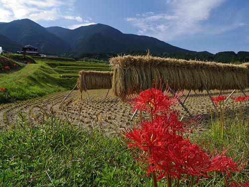 『一言主神社』の満開のヒガンバナ@葛城古道ウォーキング