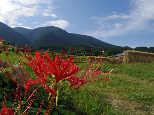 一言主神社と葛城古道のヒガンバナ-10
