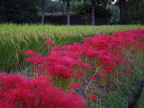 一言主神社と葛城古道のヒガンバナ-30
