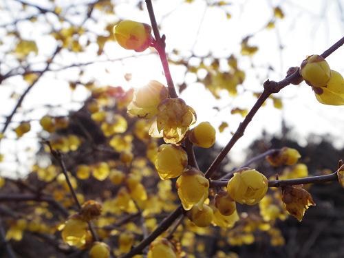 甘い香りの可憐な花『蝋梅(ろうばい)』@明日香村八釣