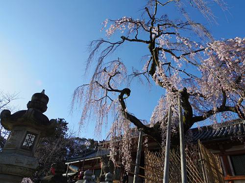 しだれ桜2015@氷室神社(奈良市)-02