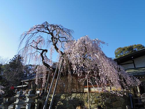 「奈良の一番桜」今年も咲きました @氷室神社(奈良市)