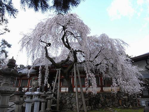 しだれ桜2015@氷室神社(奈良市)-04