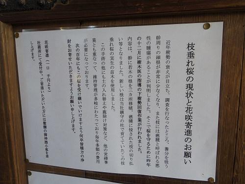 しだれ桜2015@氷室神社(奈良市)-05
