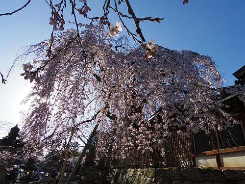 しだれ桜2015@氷室神社(奈良市)-09