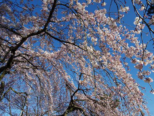 しだれ桜2015@氷室神社(奈良市)-10