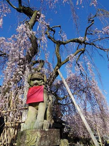 しだれ桜2015@氷室神社(奈良市)-11