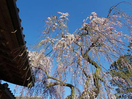 しだれ桜2015@氷室神社(奈良市)-12