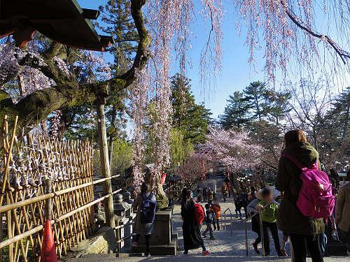 しだれ桜2015@氷室神社(奈良市)-13