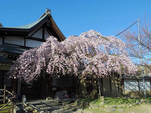 しだれ桜2015@氷室神社(奈良市)-15