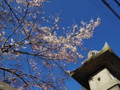しだれ桜2015@氷室神社(奈良市)-18