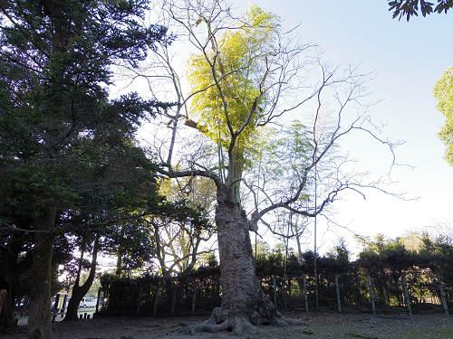 ムクロジの中から竹@奈良公園-01