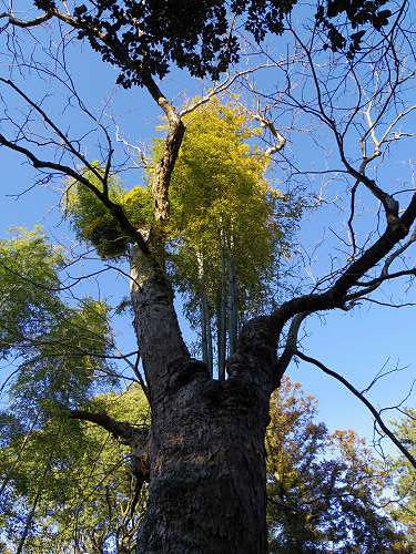 ムクロジの中から竹@奈良公園-02