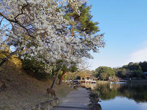 春の鷺池@奈良公園-13