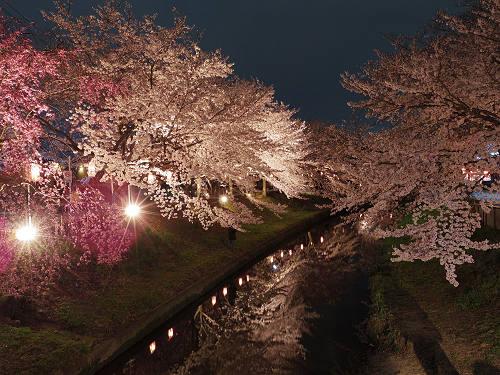 佐保川の夜桜ライトアップ@奈良市-01