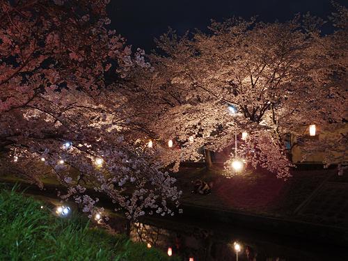 佐保川の夜桜ライトアップ@奈良市-06