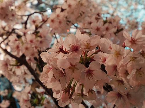 佐保川の夜桜ライトアップ@奈良市-08