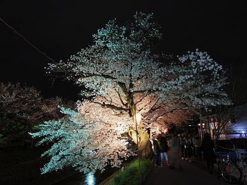 佐保川の夜桜ライトアップ@奈良市-10