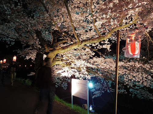 佐保川の夜桜ライトアップ@奈良市-11