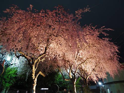 佐保川の夜桜ライトアップ@奈良市-13