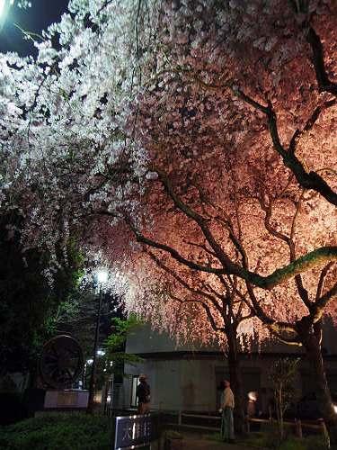 佐保川の夜桜ライトアップ@奈良市-14
