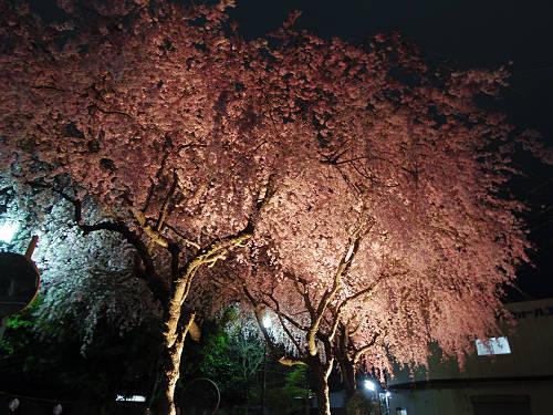 佐保川の夜桜ライトアップ@奈良市-15