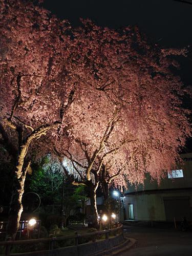 佐保川の夜桜ライトアップ@奈良市-16