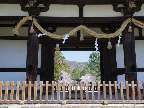 東大寺・奈良公園の桜(2015年)-02