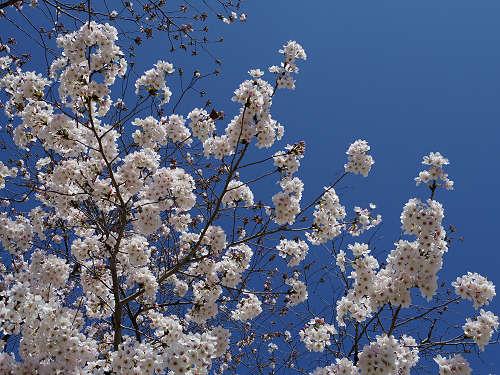 東大寺・奈良公園の桜(2015年)-03