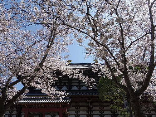 東大寺・奈良公園の桜(2015年)-06