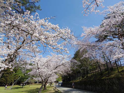 東大寺・奈良公園の桜(2015年)-08