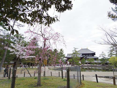 東大寺・奈良公園の桜(2015年)-10