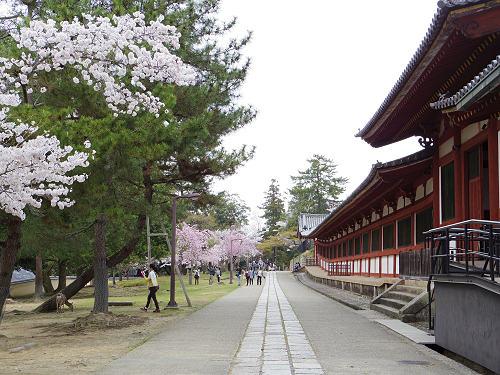 東大寺・奈良公園の桜(2015年)-11