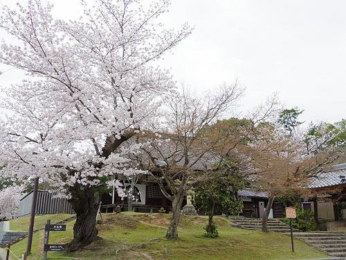 東大寺・奈良公園の桜(2015年)-12